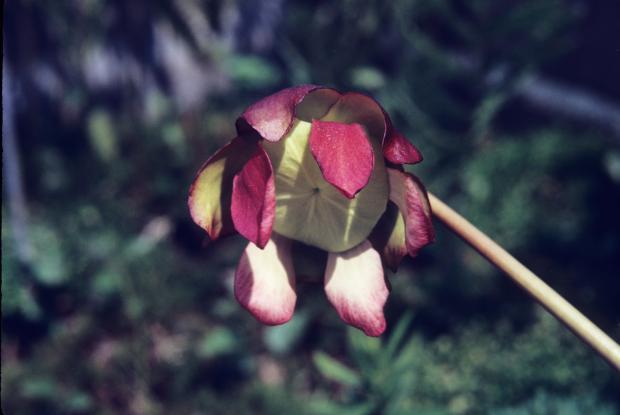 Sarracenia purpurea.