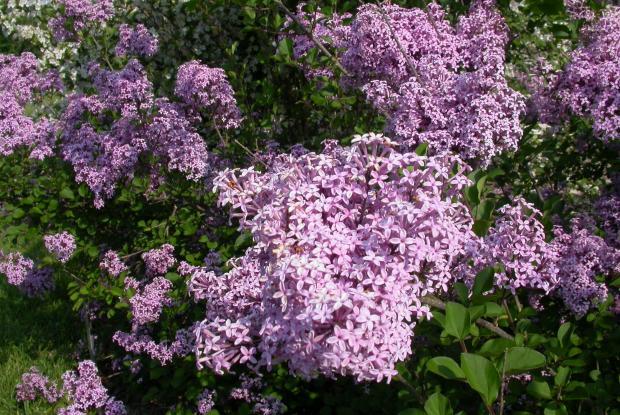 0cb969f53622 Pruning lilacs