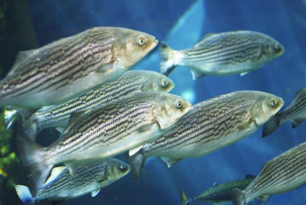 Striped bass (Morone saxatilis).