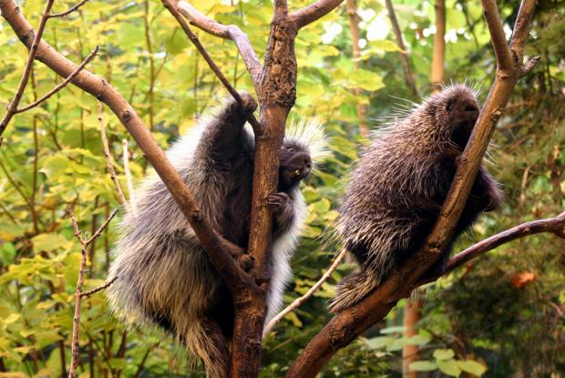 North American porcupines in the Laurentian Maple Forest at the Biodôme (Erethizon dorsatum)