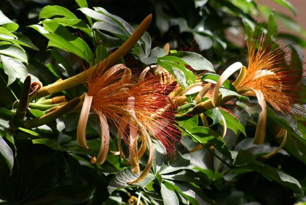 Guiana chestnut (Pachira aquatica).