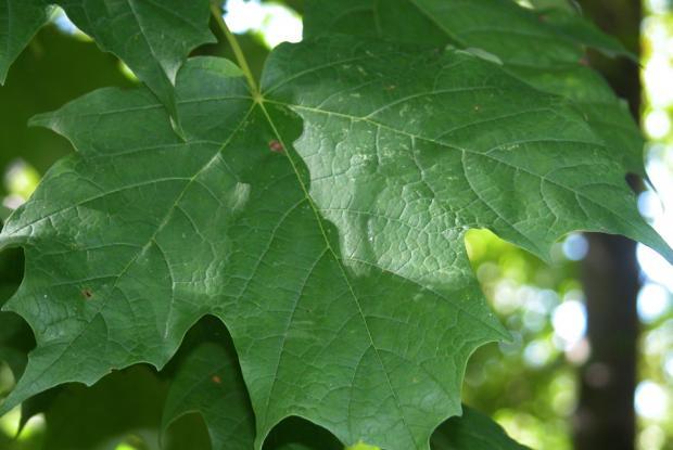Acer saccharum.
