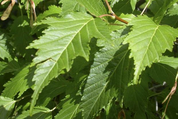 Acer tataricum ssp. ginnala