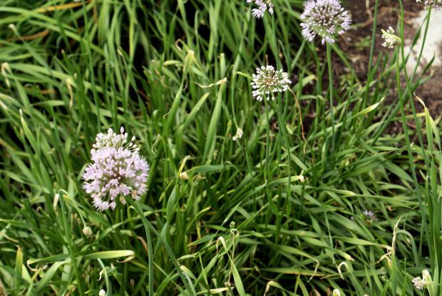 Allium tuberosum 'Mauve'