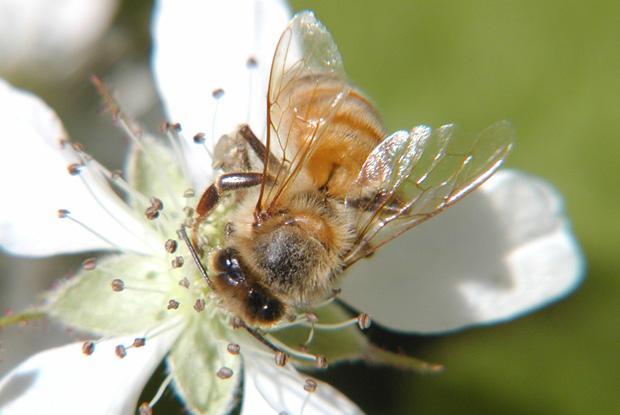 Hymenoptera, Apidae, Québec, Canada.