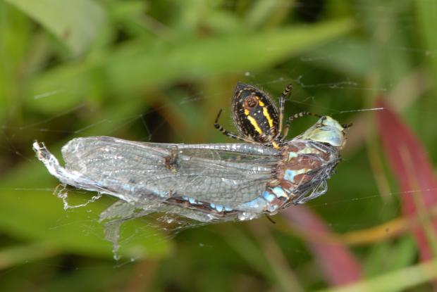 Araneidae, Québec, Canada.