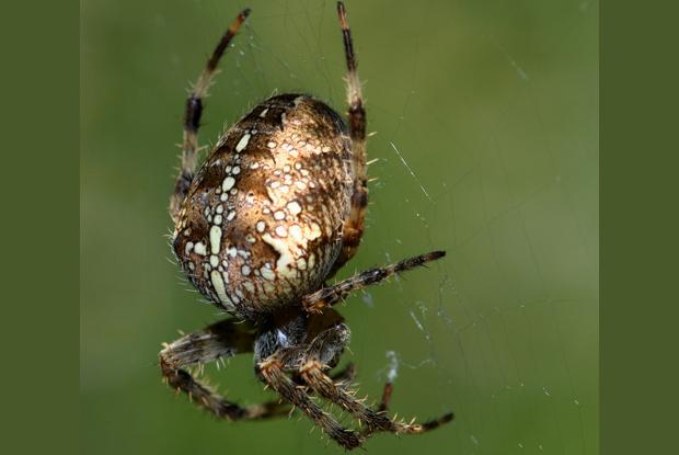 Araneus diadematus, Québec Canada.
