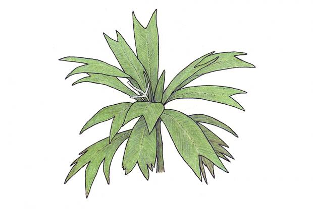 Asterogyne martiana (H. Wendl.) H. Wendl. ex Hemsi