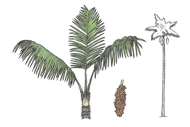 Astrocaryum Standleyanum L. H. Bailey