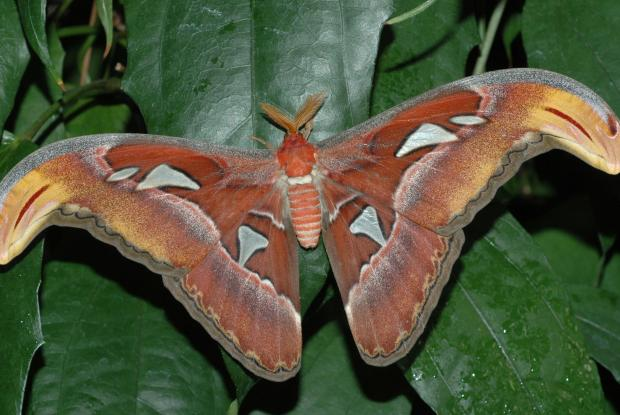 Attacus atlas, Southeast Asia.