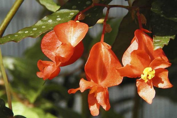 Begonia 'Lois Burks'