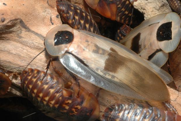 Blaberus giganteus