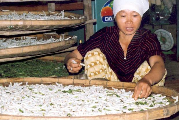Élevage de vers à soie, Vietnam.