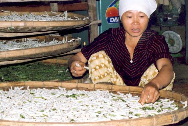 Breeding of silkworms, Vietnam.