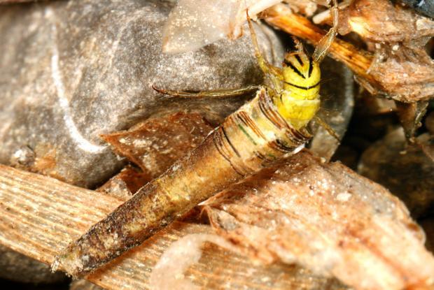 Brachycentrus lateralis, Québec, Canada.