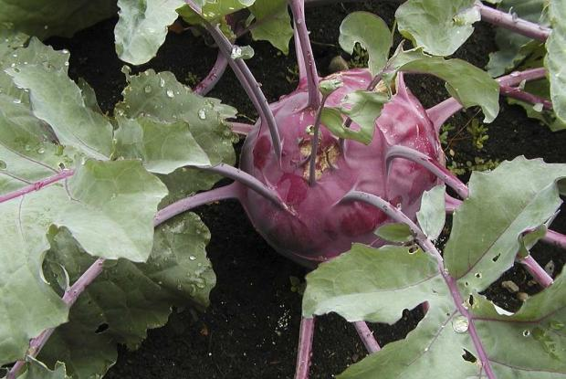 Brassica oleracea (gr. Gongylodes) 'Early Purple Vienna'