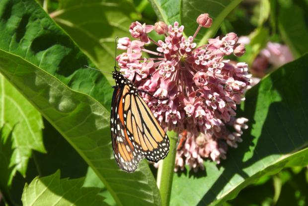 1 - Common milkweed