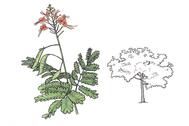 Caesalpinia pulcherrima L. Swartz