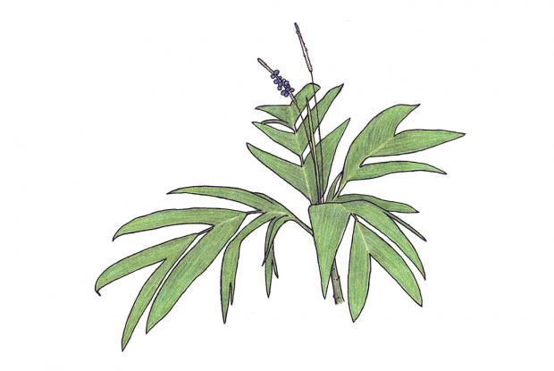 Calyptrogyne sarapiquensis Wendl.