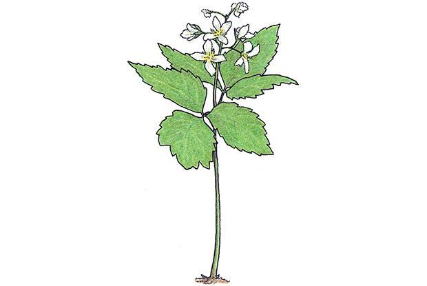 Cardamine dyphylla (anc.: Dentaria diphylla)