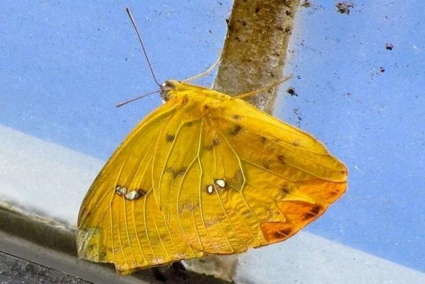 Catopsilia scylla