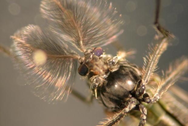 Chironomus anthracinus, Danemark.
