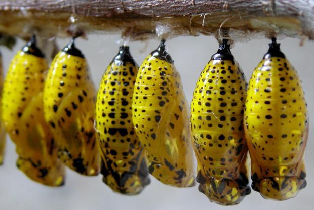 Chrysalides de papillons Idea leucone, Asie du Sud