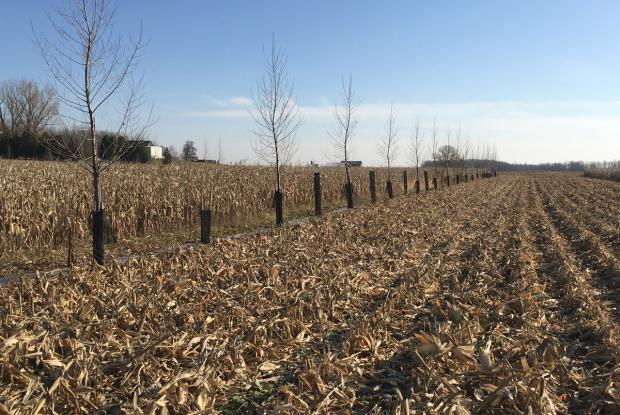 Agroforestry: an experimental setup integrating rows of trees in a cornfield to study their effects.