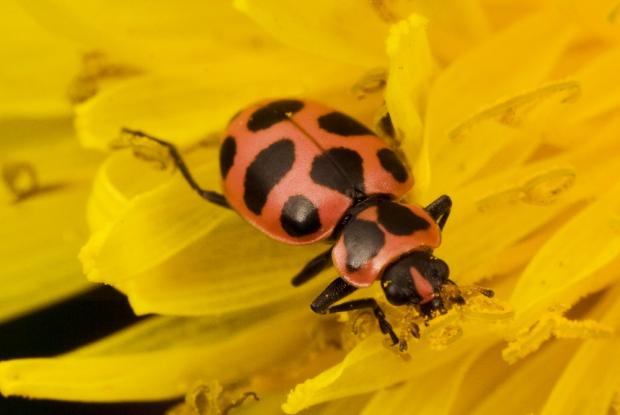 Asian ladybug genus species name