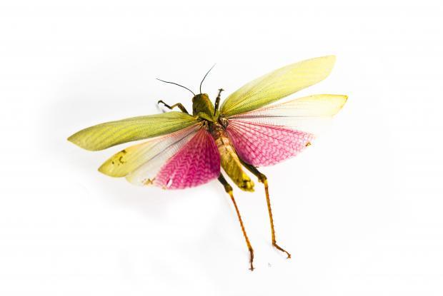 Insecte naturalisé.