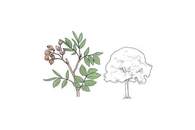 Copaifera multijaga