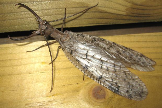 Corydalus cornutus, Québec, Canada.