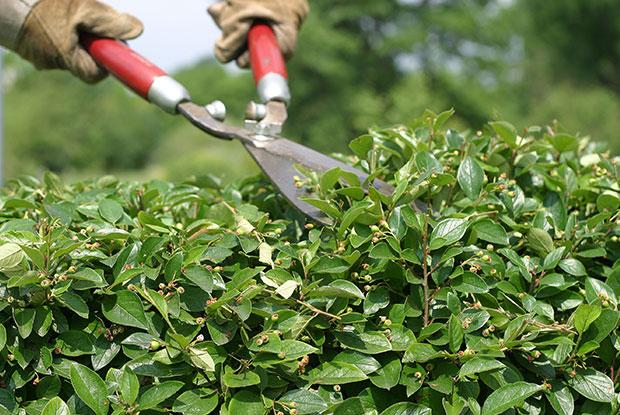 Pruning a hedge with a shears