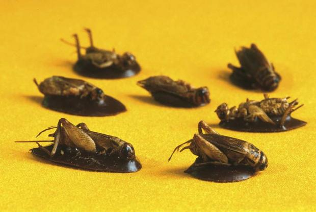 Croque-insectes.