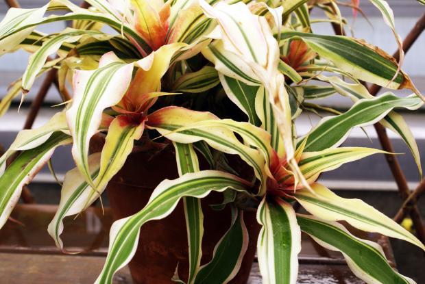 Cryptanthus bromelioides 'Tricolor'