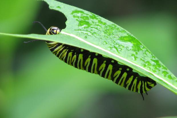 Danaus plexippus caterpillar