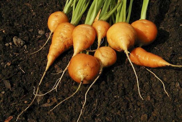 Daucus carota (gr. sativus) 'Oxheart'