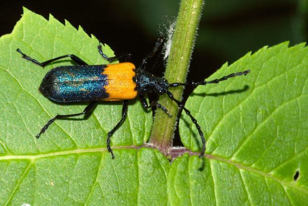 Desmocerus palliatus