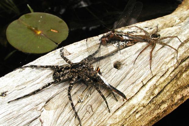 Dolomedes sp., Amérique du Nord.