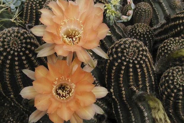 Echinopsis 'Orange Paramount'