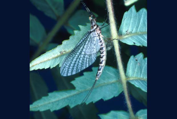 Mayfly, or shadfly, Québec, Canada.