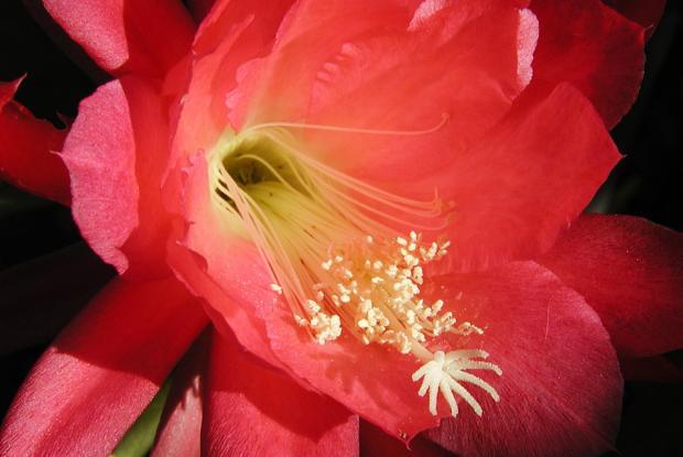 Epiphyllum 'Dorian'.
