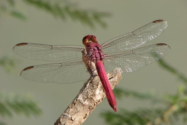 Erythemis mithroides, Mexique.