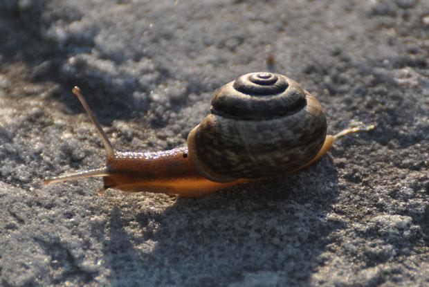 Snail, Québec, Canada.