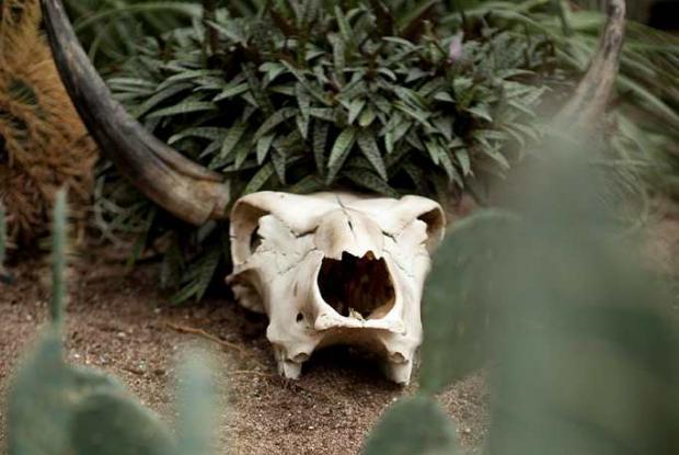 Crâne de bovin à la serre des régions arides