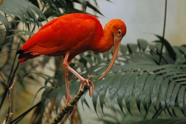 Eudocimus ruber