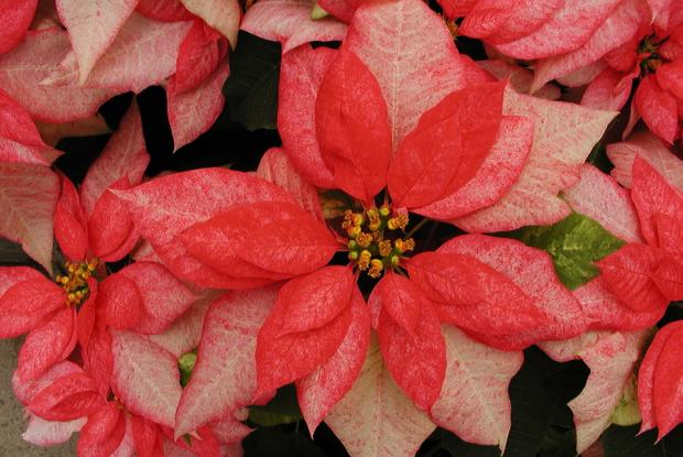 Euphorbia pulcherrima 'Monet Twilight'