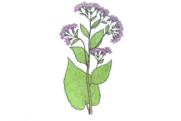 Eurybia macrophylla  (anc.Aster macrophyllus)