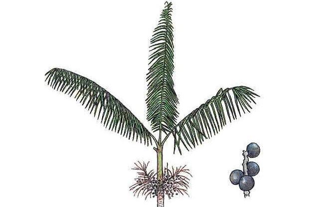 Euterpe oleracea Mart.