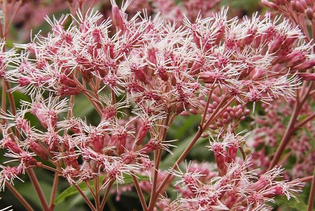 Eutrochium maculatum